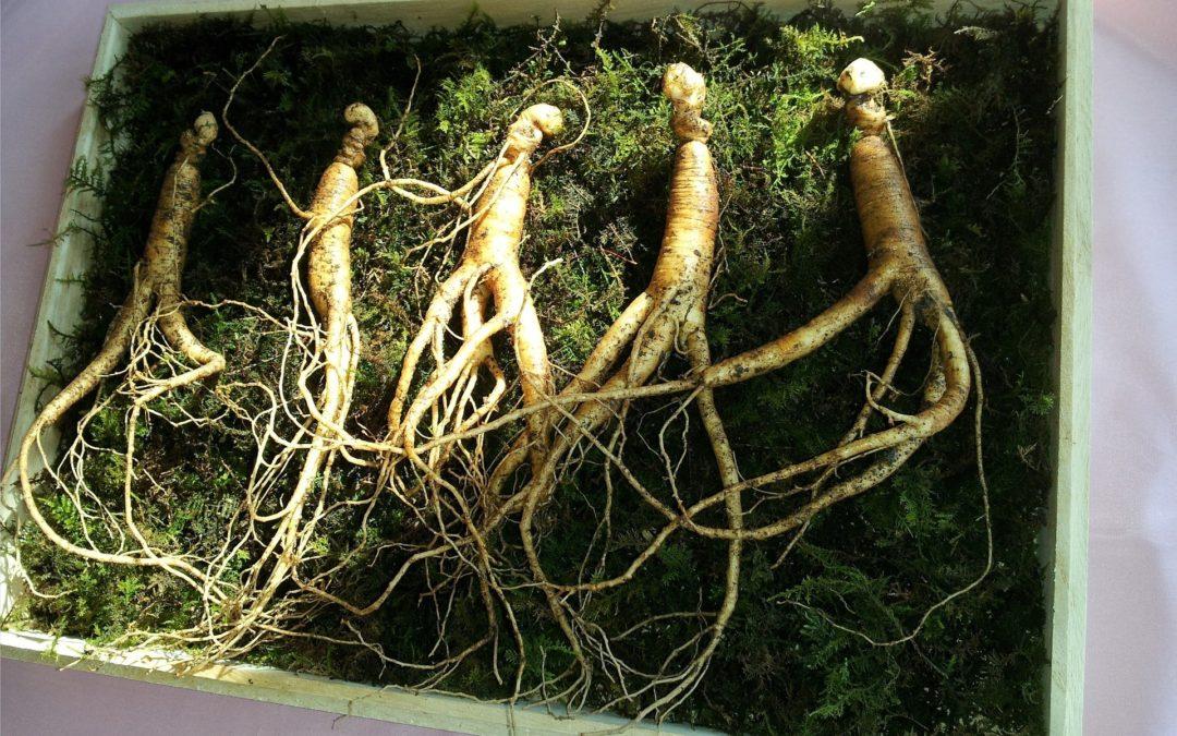 Une plante médicinale qui stimule l'organisme de façon naturelle