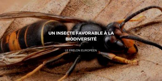 Le frelon européen: Un insecte favorable à la biodiversité